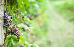 Pinot Noir Grapes on the Vine. Pinot Noir grapes hanging on a vine in a vineyard with a blurred green background Royalty Free Stock Photos