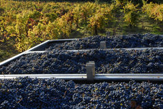 Pinot Noir grapes and vineyard. A California vineyard with freshly picked bins of Pinot Noir grapes Stock Image