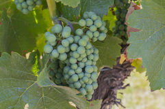 Pinot Noir Grapes in Vineyard Okanagan British Columbia Canada. Unripened Pinot Noir Grapes in Vineyard Okanagan British Columbia Canada Stock Photography