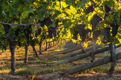 Pinot noir grapes in vineyard. Ripe pinot noir grapes in vineyard Stock Image