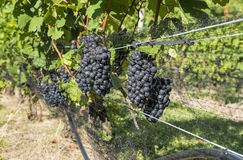 Pinot Noir Red Wine Grapes #1 Royalty Free Stock Photography