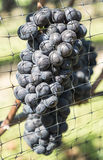 Pinot Noir Red Wine Grapes #2 Stock Photo