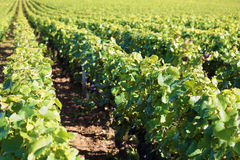 Pinot noir red wine grapes vineyard burgundy france field landscape Royalty Free Stock Photography