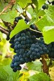 Pinot noir ripe bunch of grapes closeup. Pinot noir ripe bunch of grapes ready for picking Royalty Free Stock Photos