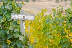 Wood Pinot Noir sign marking row of grapevines in autumn. Pinot Noir sign with autumn grapevines in vineyard in the Okanagan Valley Royalty Free Stock Photo