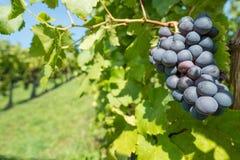 Pinot noir vine grapes Stock Photos