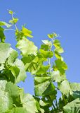 Pinot Noir Vine Leaves and Blue Sky Stock Photography