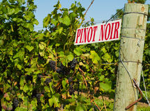 Pinot Noir Vines. Pinot Noir Grape Vines in the Wine making area of Niagara on the Lake, Ontario, Canada Stock Images