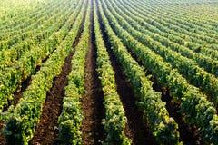 Pinot noir vineyard in Beaune, Burgundy, France Royalty Free Stock Photos