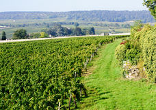 Pinot noir vineyard beaune cote de beaune burgundy france Royalty Free Stock Images