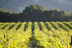 Pinot Noir Vineyard, California Stock Photo