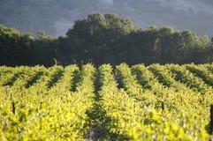 Pinot Noir Vineyard, California. A vineyard of Pinot Noir grapes, in the morning. Location: Mendocino County, California Stock Photo