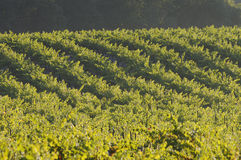 Pinot Noir Vineyard, California. A Pinot Noir Vineyard, morning, Mendocino County, California Royalty Free Stock Image