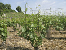 Pinot Noir vineyard Royalty Free Stock Photography