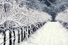 Pinot Noir vineyard in winter. Winter snow covers a California Pinot Noir vineyard Royalty Free Stock Photo