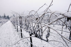 Pinot Noir vineyard in winter Stock Photos