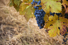 Pinot noir wine grape in autumn. Horizontal close up of a bunch of pinot noir grape in a vineyard with vine leaves in the foreground Stock Images