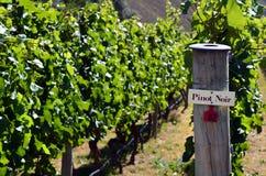 Pinot Noir-Zeichen auf Weinrebe Stockfotografie