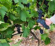 Pinotage grapes Stock Photo