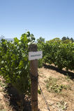 Pinotage vineyard Royalty Free Stock Photos