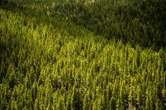 Pins à feuilles persistantes - forêt de montagne Photos stock