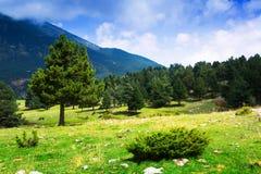 Pins aux montagnes dans le jour d'été Photos libres de droits