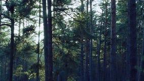 Pins balançant dans le vent dans la forêt banque de vidéos