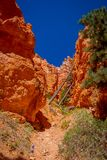 Pins chez Bryce Canyon National Park, Utah photos stock
