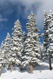 Pins couverts dans la neige un jour d'hiver Photographie stock