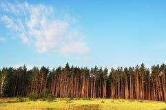 Pins dans la forêt Image libre de droits