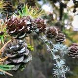 Pins dans la forêt Photographie stock libre de droits