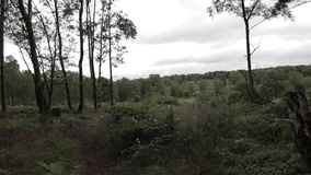 Pins dans la forêt de chasse de Cannock, R-U banque de vidéos