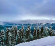 Pins dans la neige pendant l'hiver Photo libre de droits