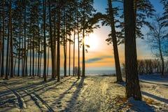 Pins dans le coucher du soleil La Sibérie occidentale, Russie Photographie stock