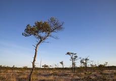 Pins dans le marais, Lettonie Photo stock