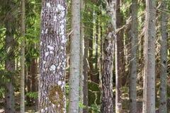 Pins dans Pineforet Photographie stock