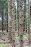 Pins dans Pineforet Photos libres de droits