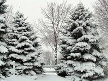 Pins de l'hiver Photo libre de droits