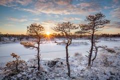 Pins de marais chauffés par lever de soleil photographie stock