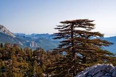 Pins de montagne Images libres de droits