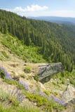 Pins de Ponderosa dans la réserve forestière de Payette près de McCall Idaho Image libre de droits