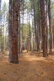 Pins de Ponderosa et étage de forêt photos stock