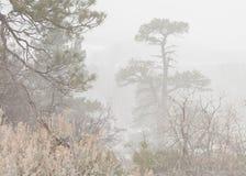 Pins de Ponderosa obscurcis par le brouillard Image libre de droits