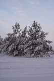Pins de sapin de paysage d'hiver Photo stock
