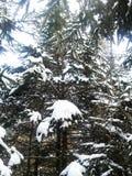 Pins du pays des merveilles d'hiver couverts dans la neige photos libres de droits