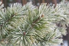 Pins en hiver Photo stock