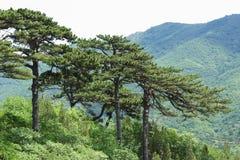 Pins en montagne Image libre de droits