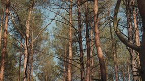 Pins et ciel dans la forêt banque de vidéos