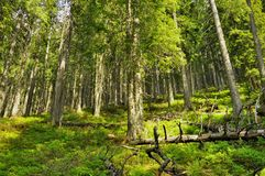 Highland pins forest from Carpathians Royalty Free Stock Photos