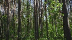 Pins grands dans la forêt banque de vidéos
